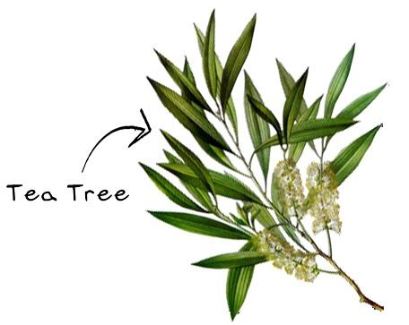 Tea Tree eso-ing.jpg